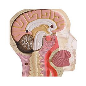 Фото 2 к товару Набор Brain & skull Мозг и череп
