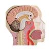 Набор Brain & skull Мозг и череп - фото 2